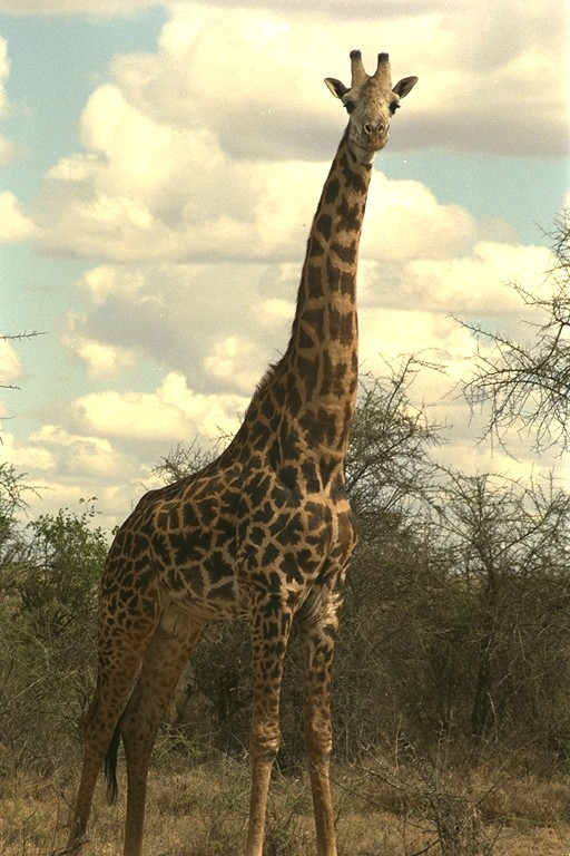 adult giraffe pictures  good photos of adult giraffe in
